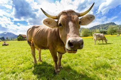 牡牛座 牛